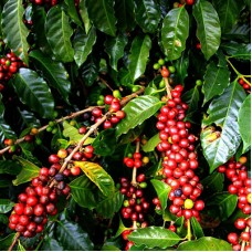 Как влияет страна произрастания кофе на его вкус?