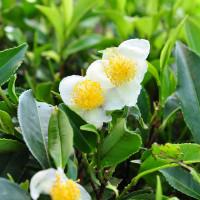Где растет чай и как его собирают?